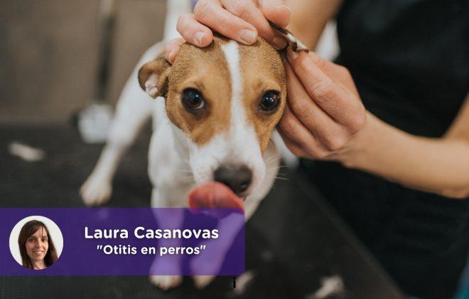 Otitis en perros Laura Casanovas. Veterinaria. Mi perro sacude la cabeza, ¿qué le pasa?